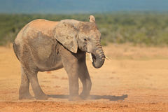 在尘土的非洲大象 库存照片