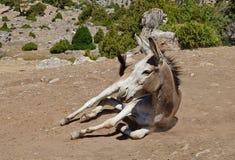在尘土的驴在archa下 免版税库存图片