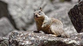 在尤塞米提谷的灰鼠 免版税库存图片