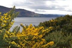 在尼斯湖的黄色石南花 免版税库存图片