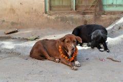 在尼泊尔庆祝的皮包骨头的街道狗 免版税库存图片