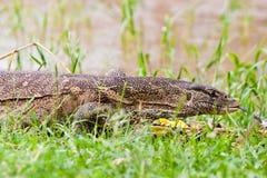 在尼罗走的水附近的蜥蜴监控程序 库存图片