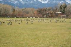 在居住于足球场的鹅 免版税图库摄影