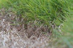 在居住的绿草旁边的死的棕色草 库存图片