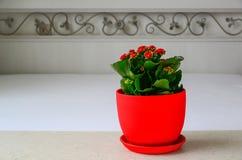 在屋子内部的红色罐花Kalanchoe 免版税库存图片
