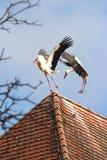 在屋顶土坎的两只鹳战斗 图库摄影