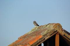在屋顶栖息的猫头鹰之子 免版税库存图片