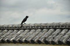 在屋顶的一只啾啾叫的乌鸦 库存照片