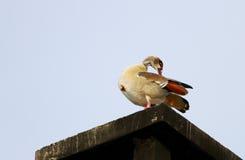在屋顶的一只美丽的埃及鹅 免版税库存照片