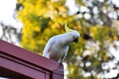 在屋顶的一只美冠鹦鹉 免版税库存图片