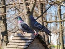 在屋顶的两只鸽子 库存照片