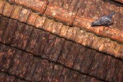 在屋顶的唯一鸽子 免版税库存照片