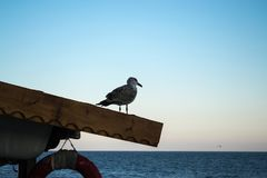 在屋顶的孤独的鸥观看日落的海 图库摄影