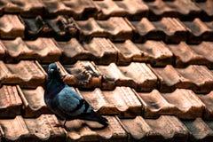 在屋顶的孤独的鸽子 库存照片