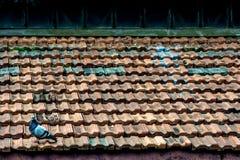 在屋顶的孤独的鸽子 免版税库存照片