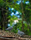 在屋顶的斑尾林鸽 免版税图库摄影