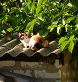 在屋顶的杂色猫 免版税图库摄影