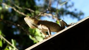 在屋顶的森林蜥蜴 免版税库存照片