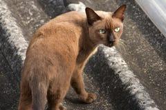 在屋顶的泰国棕色猫 库存图片