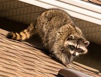 在屋顶的浣熊 免版税库存图片