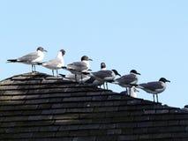 在屋顶的海鸥 免版税库存图片