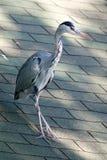 在屋顶的灰色苍鹭在城市布局 图库摄影