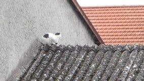 在屋顶的猫 股票视频