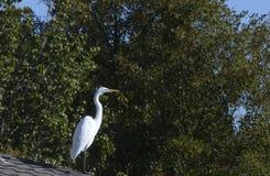 在屋顶的白鹭 免版税库存图片