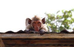 在屋顶的短尾猿猴子 免版税库存图片