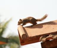 在屋顶的花栗鼠 免版税图库摄影