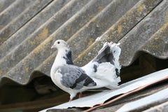 在屋顶的花梢白色鸽子 免版税图库摄影