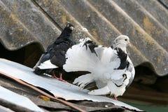 在屋顶的花梢白色鸽子 库存照片