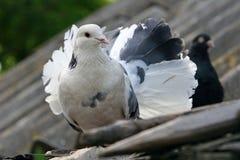 在屋顶的花梢白色鸽子 免版税库存照片