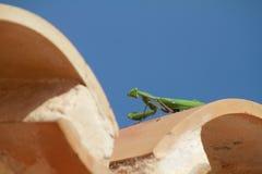 在屋顶的螳螂 库存照片