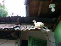 在屋顶的鸡 免版税库存图片