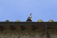 在屋顶的鸽子 免版税库存照片