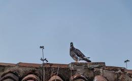 在屋顶的黑暗的鸽子 免版税图库摄影