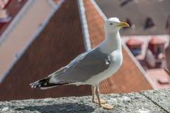 在屋顶的Seaugul 免版税库存照片