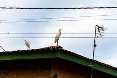 在屋顶站立的白色苍鹭 免版税库存照片
