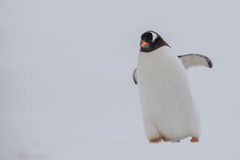 在屏幕的右面被安置的Gentoo企鹅 库存图片