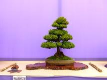 在展示的一棵chuhin不拘形式的挺直Hinoki赛普里斯盆景在贝尔法斯特北爱尔兰 免版税库存图片