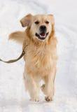 在展示的金毛猎犬狗 免版税库存照片