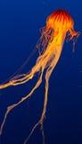 在展览的水母 图库摄影