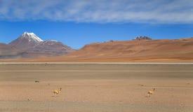 在山、沙漠和Vicuña的看法从路23,阿塔卡马沙漠,北智利 库存图片