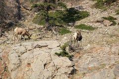 在山一边的两只大角野绵羊 免版税库存照片