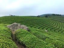 在山上面的茶树  免版税库存图片