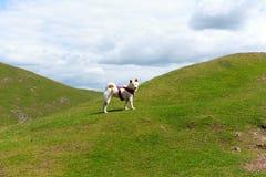 在山丢失的狗 库存图片