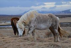 在山冬天风景的冰岛良种马 免版税库存照片