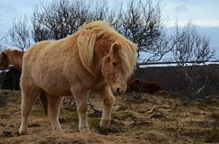 在山冬天风景的冰岛良种马 库存照片