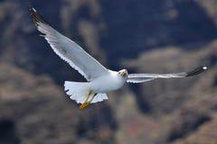 在山前面的飞行海鸥 免版税库存照片